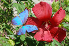 Red hibiskus and blue butterfly. Red hibiskus and blue summer in garden Royalty Free Stock Images