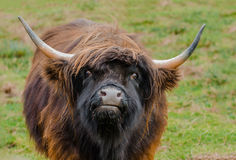 Red Highland Bull Royalty Free Stock Photo
