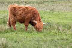 Red Highland cow Royalty Free Stock Images