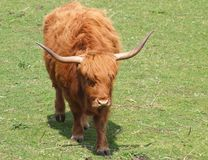 Red Highland Cow - Kyloe Royalty Free Stock Photography