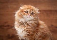 Red highland kitten on mirror and wooden texture Stock Photo