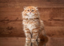 Red highland kitten on mirror and wooden texture Stock Photography