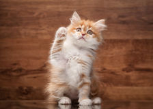 Red highland kitten on mirror and wooden texture Royalty Free Stock Image