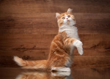 Red highland kitten on mirror and wooden texture Royalty Free Stock Images