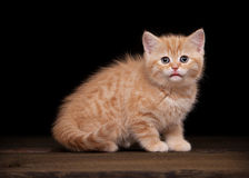Red highland kitten on table with texture Royalty Free Stock Photo