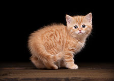 Red highland kitten on table with texture Royalty Free Stock Images