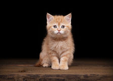 Red highland kitten on table with texture Stock Photo