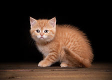 Red highland kitten on table with texture Stock Images