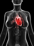 Red highlighted female´s heart Royalty Free Stock Image