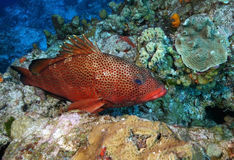 Red Hind Resting on a Coral Reef - Cozumel Royalty Free Stock Photos