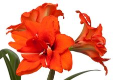 Red hippeastrum Stock Photography