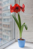 Red Hippeastrum in a blue pot Royalty Free Stock Images