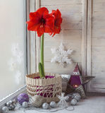 Red Hippeastrum and Christmas decor Royalty Free Stock Images