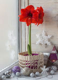 Red Hippeastrum and Christmas decor Stock Images