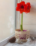 Red Hippeastrum and Christmas decor Royalty Free Stock Photos