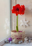 Red Hippeastrum  and Christmas decor Royalty Free Stock Photo