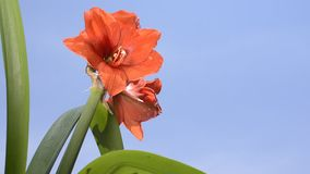 Red hippeastrum flower stock video