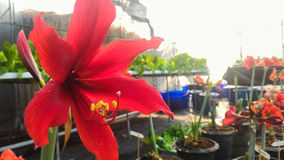 Red Hippeastrum Flower. Vegetable Hidroponik planted by KMITL student, Bangkok Stock Image