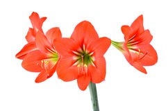 Red Hippeastrum isolated on white background Stock Images
