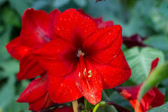 Red hippeastrum in the tropics of South Africa. stock image