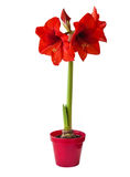Red Hippeastrum Royalty Free Stock Photos