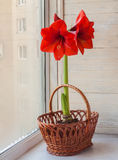 Red Hippeastrum in wicker basket Royalty Free Stock Photography