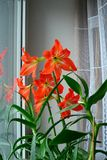 Red hippeastrum witch aloe on a window Royalty Free Stock Image