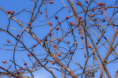 Red hips of dogrose. Red hips and brunches of dogrose on the blue sky Royalty Free Stock Photos