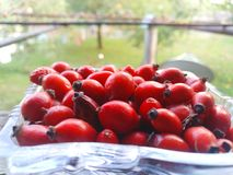 Red hips in glass tray . Hips . Dog-rose . Dog rose fruits Rosa canina . Medicinal plants and herbs composition . Fresh rose hips stock photo
