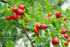 Red hips with leaves. Royalty Free Stock Image