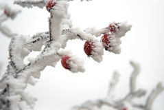 Red hips under the snow Royalty Free Stock Photography