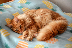 Red hired Kitten. Beautiful red hired kitten on bed Royalty Free Stock Images