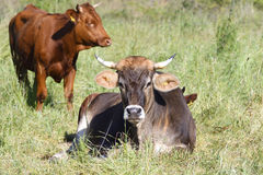 Red hoehe cattle and Brown Swiss Stock Images