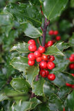 Red Holly Berries Stock Photos