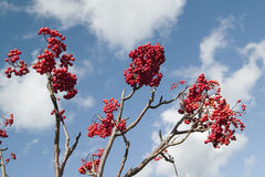 Red holly berries and blue sky with white puffy clouds from Acadia National Park, Maine Stock Images