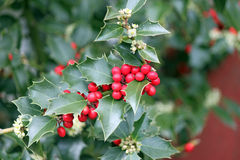 Red Holly Berries and Green Leaves Stock Image