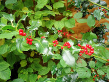 Red Holly Berry Royalty Free Stock Photo
