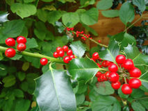 Red Holly Berry Stock Images