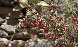 Red holly berry among the green leaves royalty free stock image