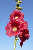 Red Hollyhock Royalty Free Stock Photography