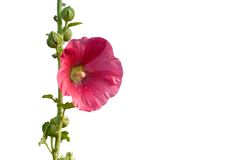 Red Hollyhock. Flower isolated on white Stock Photo