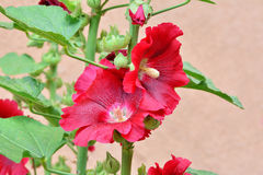 Red hollyhock closeup Alcea rosea Stock Photos