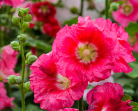 Red Hollyhock flower Stock Photo