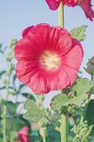 Red Alcea rosea or Hollyhock flower. Red hollyhock flower in garden. Hollyhock red flowers on blue sky Royalty Free Stock Photography