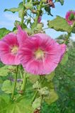 Red Alcea rosea or Hollyhock flower. Red hollyhock flower in garden. Hollyhock red flowers on blue sky Stock Image