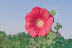 Red Alcea rosea or Hollyhock flower. Red hollyhock flower in garden. Hollyhock red flowers on blue sky. Space for lettering Stock Photography