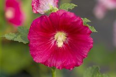 Red hollyhock flower Royalty Free Stock Image