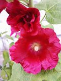 Red hollyhock flower on a Sunny summer day.  Royalty Free Stock Photos