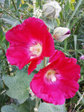 Red hollyhock flower on a Sunny summer day.  Royalty Free Stock Images