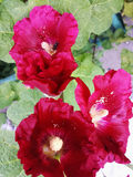 Red hollyhock flower on a Sunny summer day.  Royalty Free Stock Image
